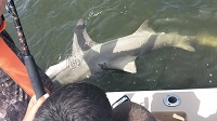 10ft Lemon Shark - Southernstyle Charters
